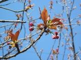 21.4.9八重桜つぼみ