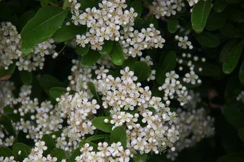 ピラカンザスの花