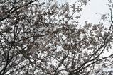トッピー広場桜(近景)