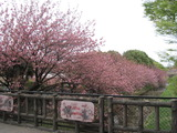 H23.4.18 八重桜