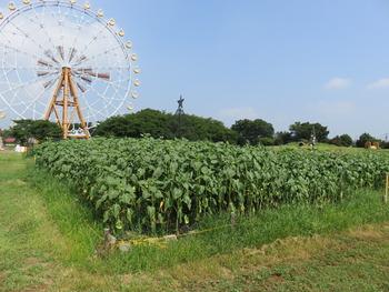 5ヒマワリ畑