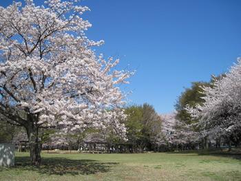 H23.4.12桜 トッピー広場