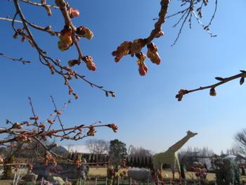 17河津桜(アップ)