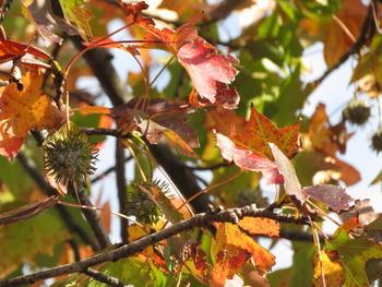 1018.11.7モミジバフウの紅葉と実