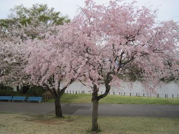 H23.4.15 枝垂桜