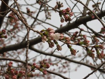 24桜(ファーム)