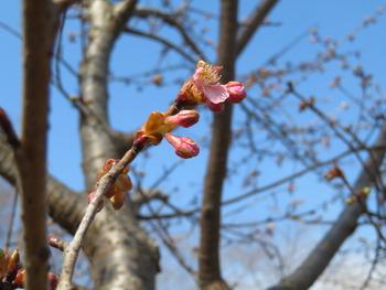 17河津桜(アップ2)