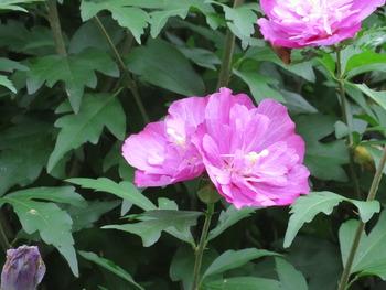 27ムクゲ(紫)