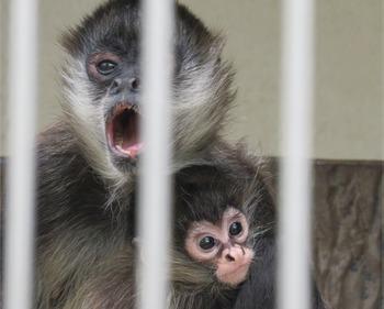 23ジェフロイクモザル赤ちゃん