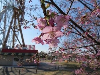 2020.2.21河津桜(ハートフルファーム)アップ