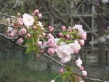 H23.4.15 八重桜1