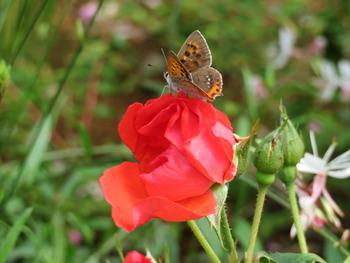 25サラバンドゥと蝶