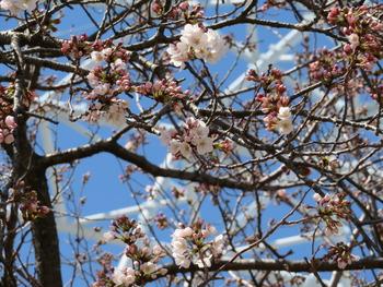 2020.3.20桜(アップ)