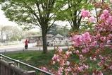 サバンナ(キリン)と八重桜