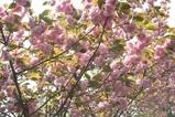 八重桜近景