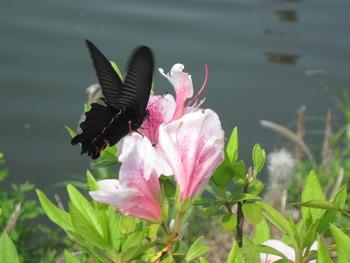 8 蝶とツツジ