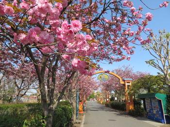 2021.4.3八重桜(パークライン沿い)