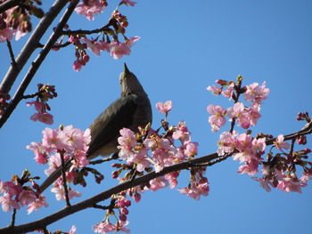2020.2.21河津桜とヒヨドリ