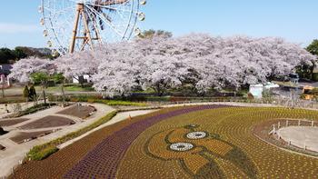 2021.3.29桜(ガーデンから)