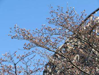 25桜(レジーナ)