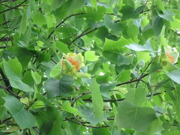 8 ユリノキの花