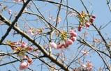 八重桜 蕾