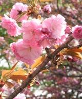 八重桜 アップ