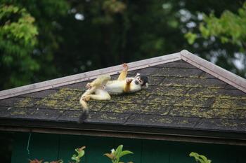 屋根で遊ぶリスザル