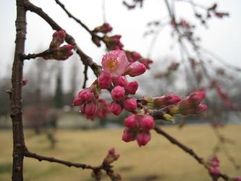 19シダレザクラ(開花3)