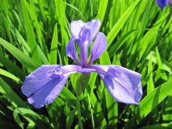 8ショウブ(紫)