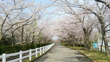 20160406パークライン沿いの桜-1