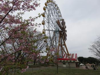 13河津桜
