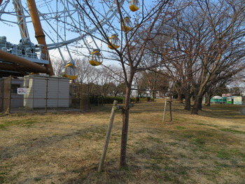 15河津桜(つぼみ)