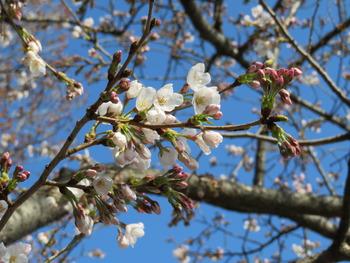 25桜(池周り)アップ