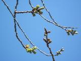 H23.4.12八重桜 蕾