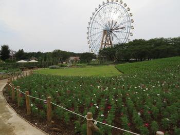 15コスモス(遠景)