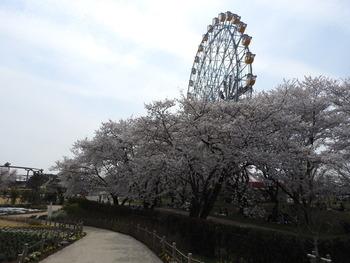 27桜(観覧車前)