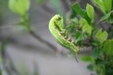 8・30オオスカシバ幼虫