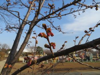 15河津桜(つぼみ)アップ2