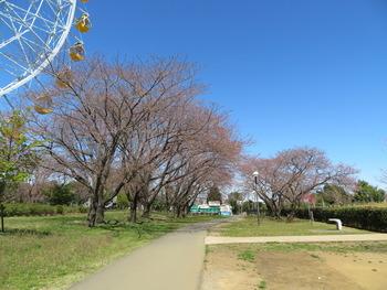 2020.3.20染井吉野(観覧車前)