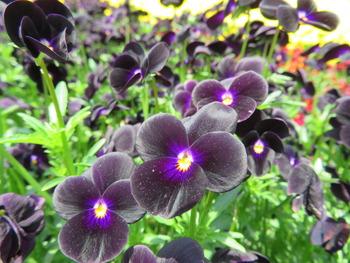 2020.5.13ビオラ(紫)