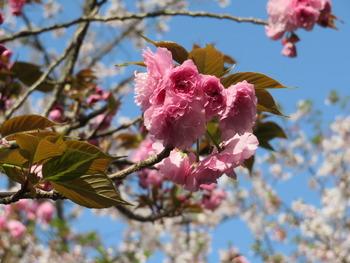 2021.4.3八重桜(アップ)