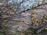 H23.4.12八重桜
