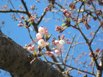 26桜(ハッピーオントイレ横)