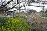 桜・菜の花・ススキコラボ