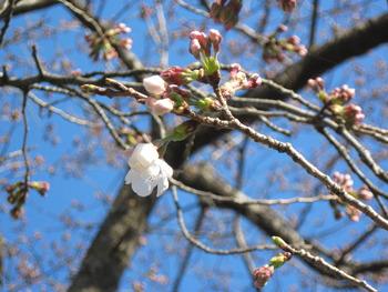 26桜(ハッピーオントイレ横)2