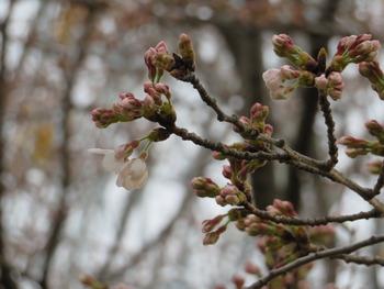 24桜(白鳥の池)アップ