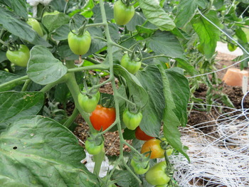 22トマト