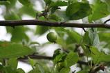 7・30ヒメリンゴ2