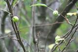 8・30ヒメリンゴ